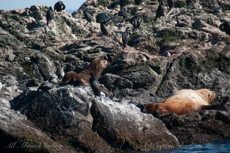 California Sea Lion with Steller Sea Lions