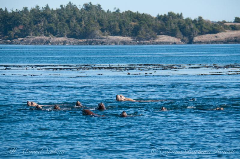 Raft of Steller Sea Lions swim near Whale Rocks, San Juan Islands