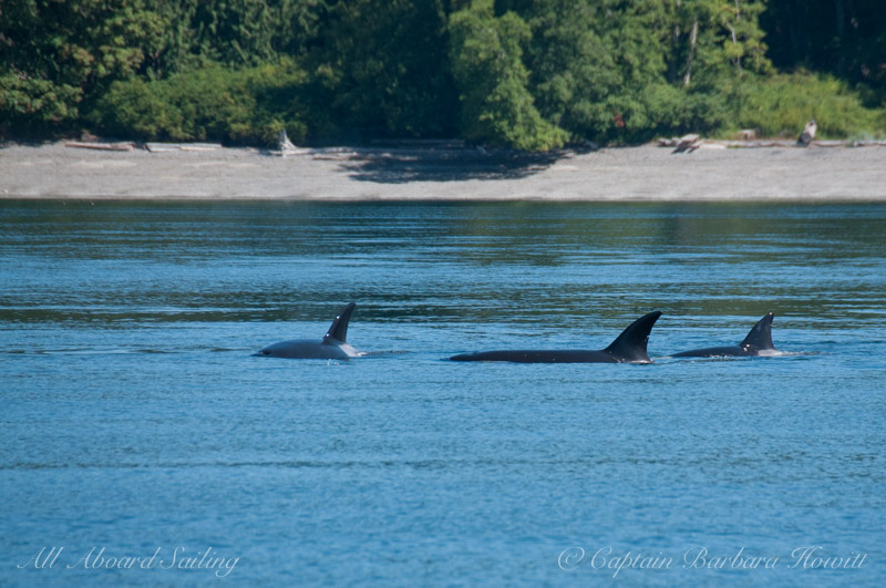 Transient orcas hunting