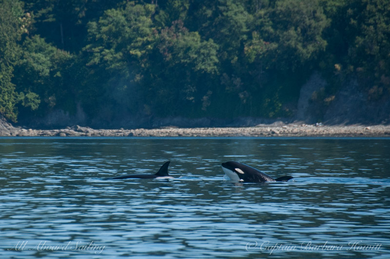 Transient orcas traveling along Orcas Island