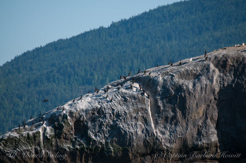 Cormorants on Bare Island