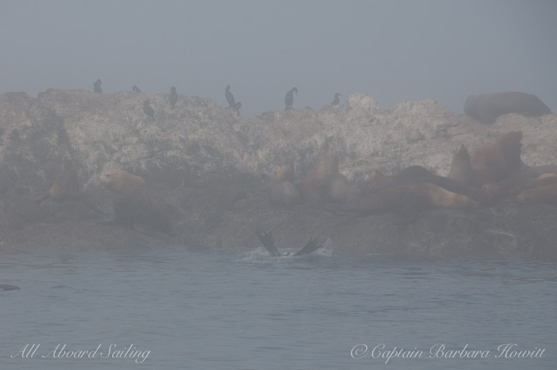 Steller Sea Lions and Pelagic Cormorants , Whale Rocks surrounded by fog