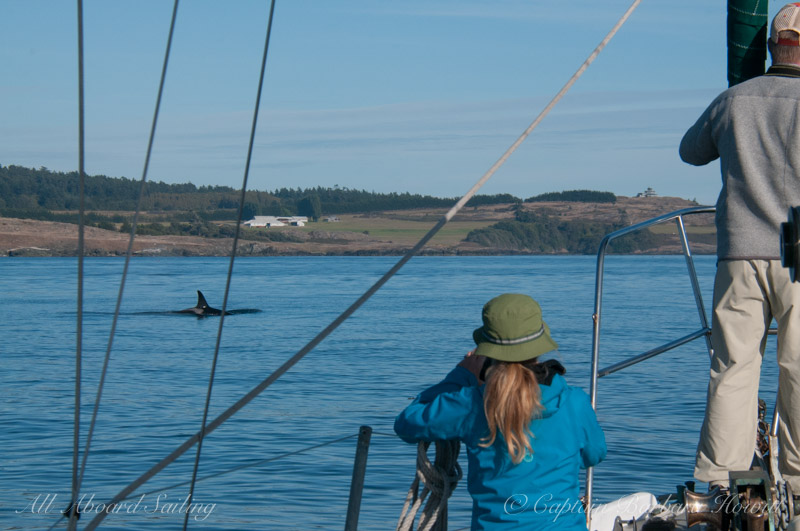 Sailing with Southern Resident Orcas