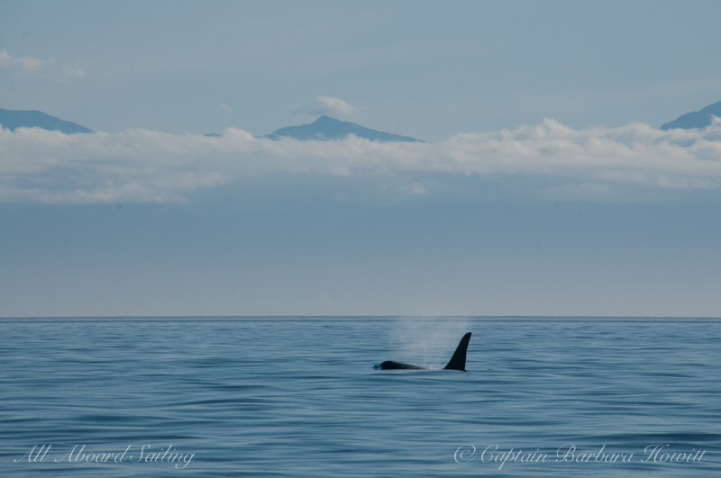 L85 Mystery, male Orca