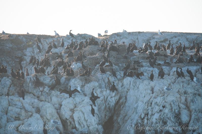 Cormorant nesting colony