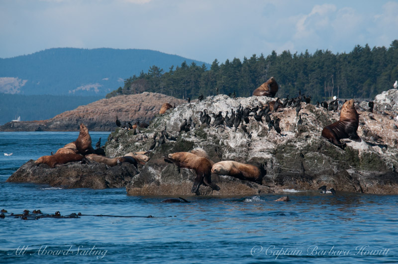 Steller Sea Lions and Cormorants of Whale Rocks
