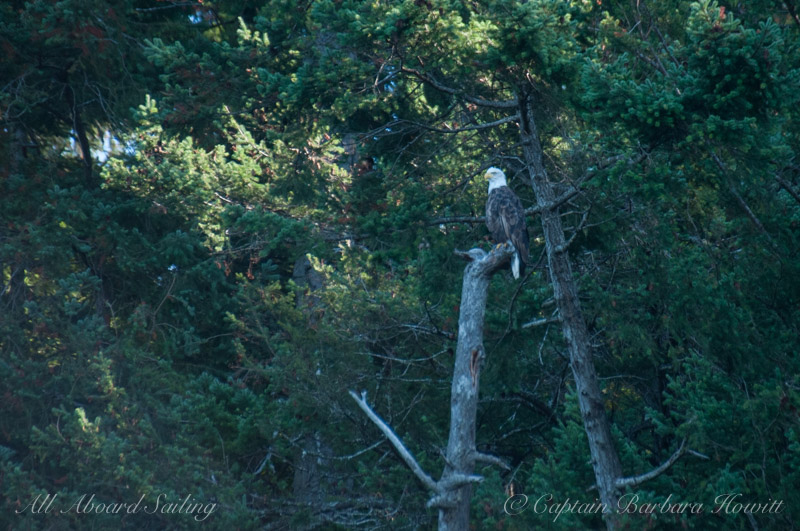 Bald Eagle Looks out over Presidents Channel
