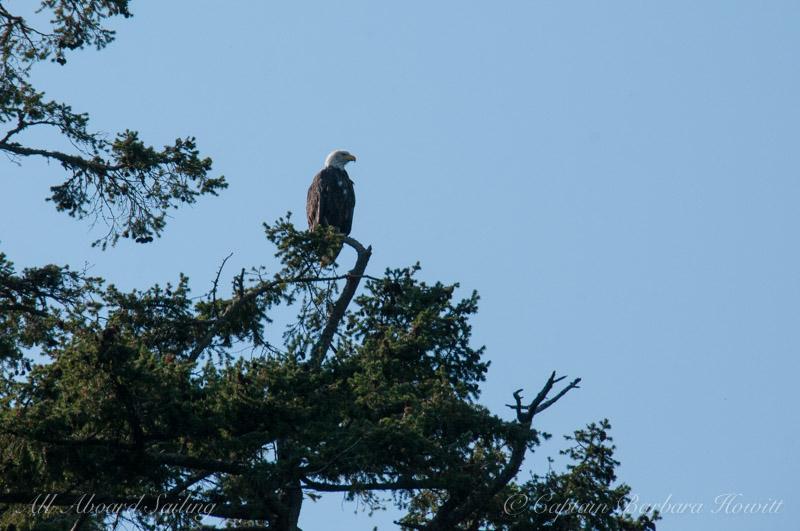 Bald Eagle, Ponit Caution, San Juan Island