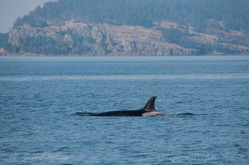 Transient Orca T99