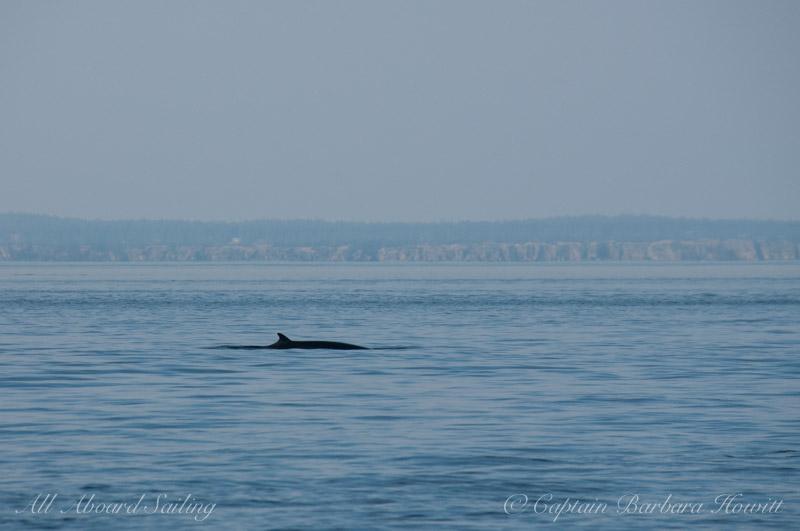 Minke Whale, San Juan Channel