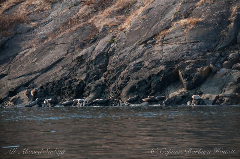 Harbor seals Flattop Island