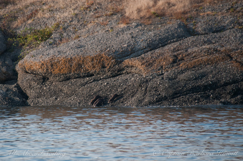 Family of River Otters, Flattop Island