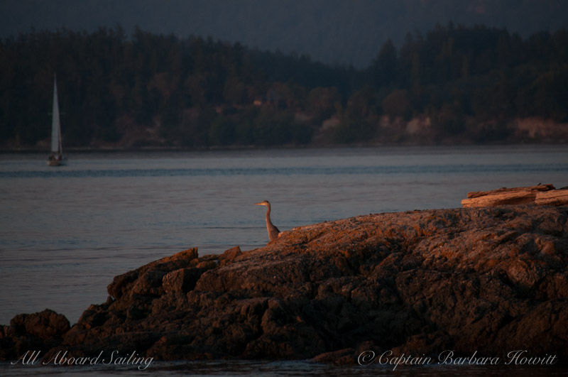 Great Blue Heron watches sunset