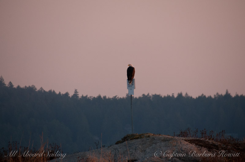 Bald Eagle perched on sign on Low Island