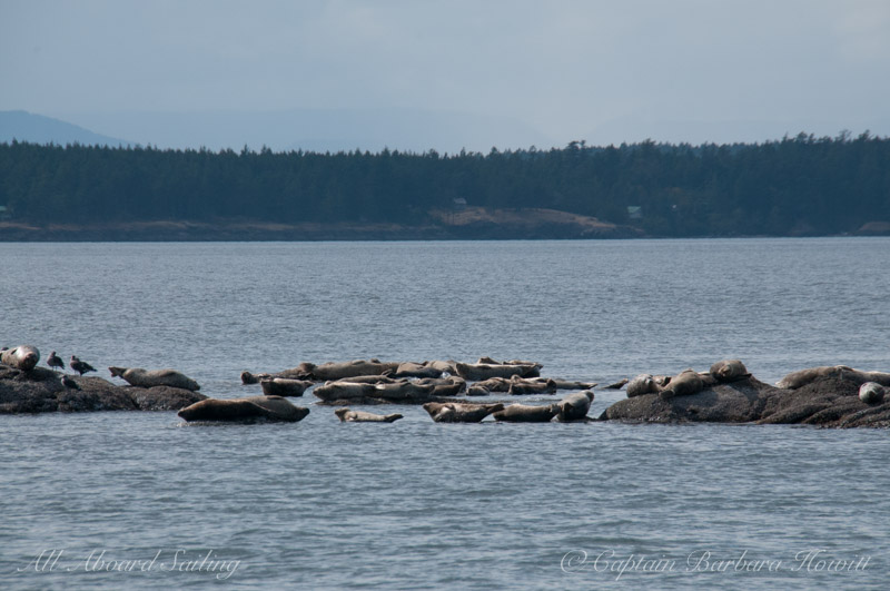 Harbor Seals White Rock