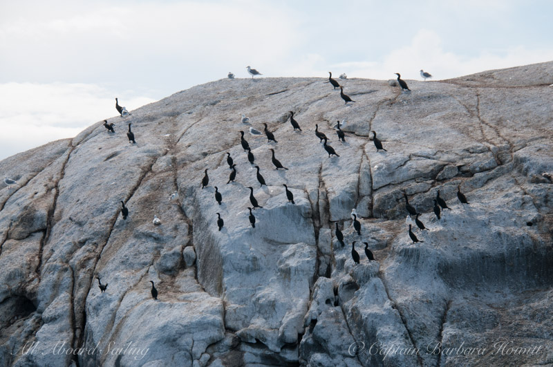 Cormorants, White Rock