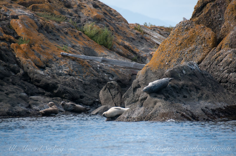 Harbor Seals, Gull Rock