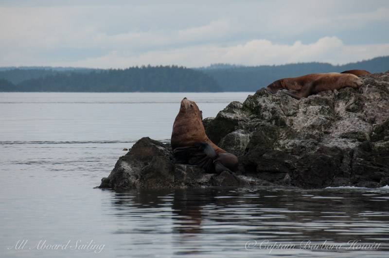 Steelers Sea Lion at Whale Rocks