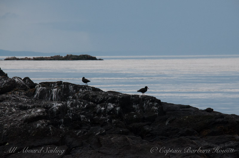 Black Oyster Catchers