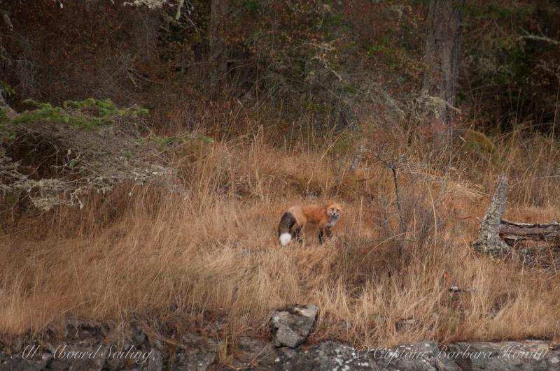Fox on San Juan Island, Point Caution