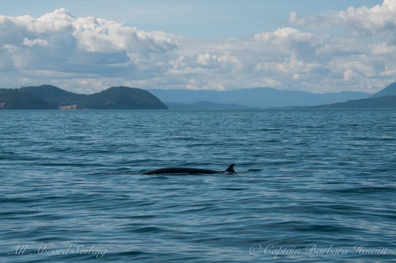 Minke Whale Off Waldron Island