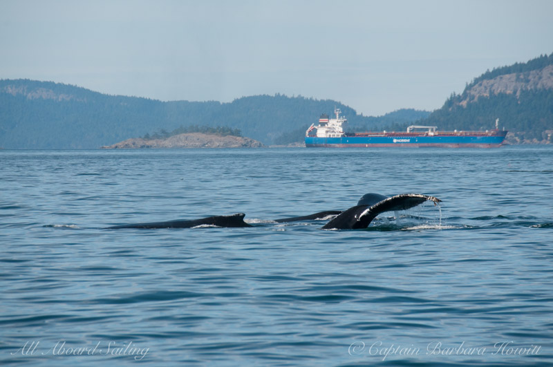 3 Humpback Whales, Boundary Pass