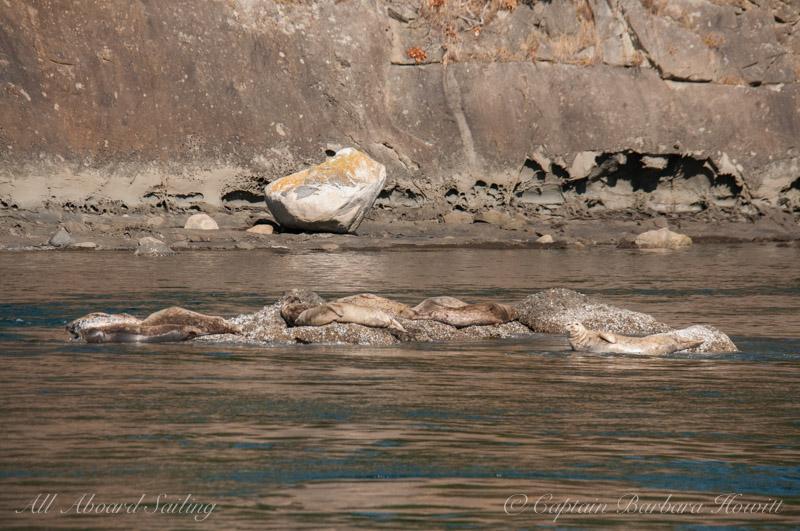Harbor Seals Cactus Islands