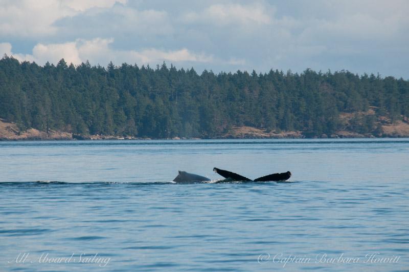 BCX1057 'Divot', Humpback Whale