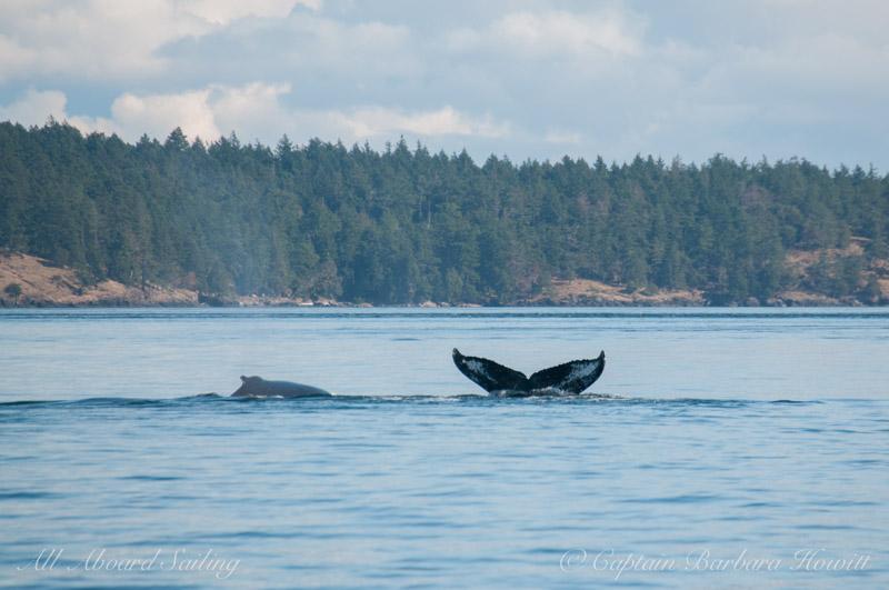 MMY0006 'Windy' Humpback Whale