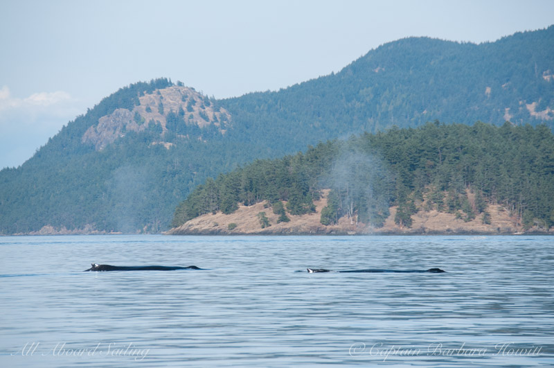 Humpback Whales San Juan Islands