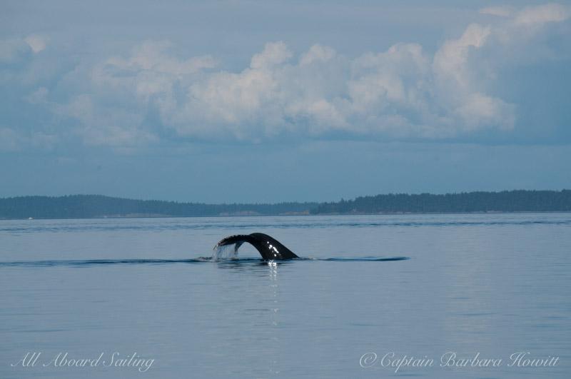 Humpback Whale tail San Juan Islands