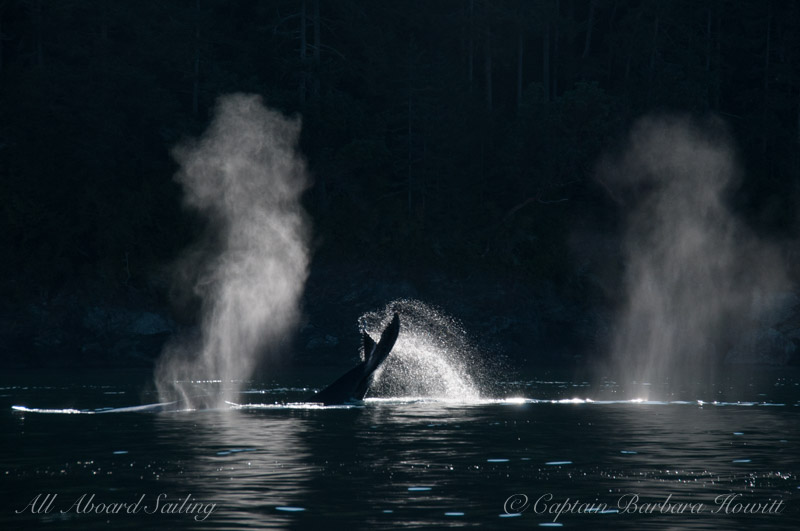 Backlit blows and Humpback Whale tail San Juan Islands