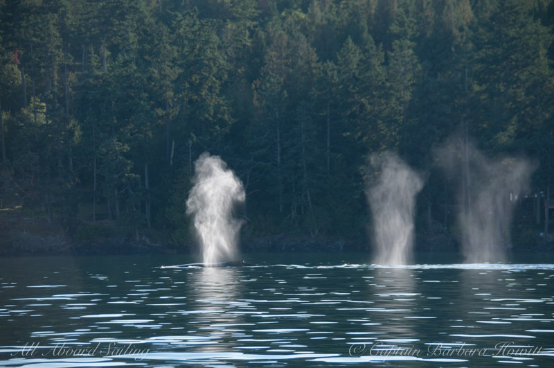 Backlit blows of three Humpback Whales San Juan Islands