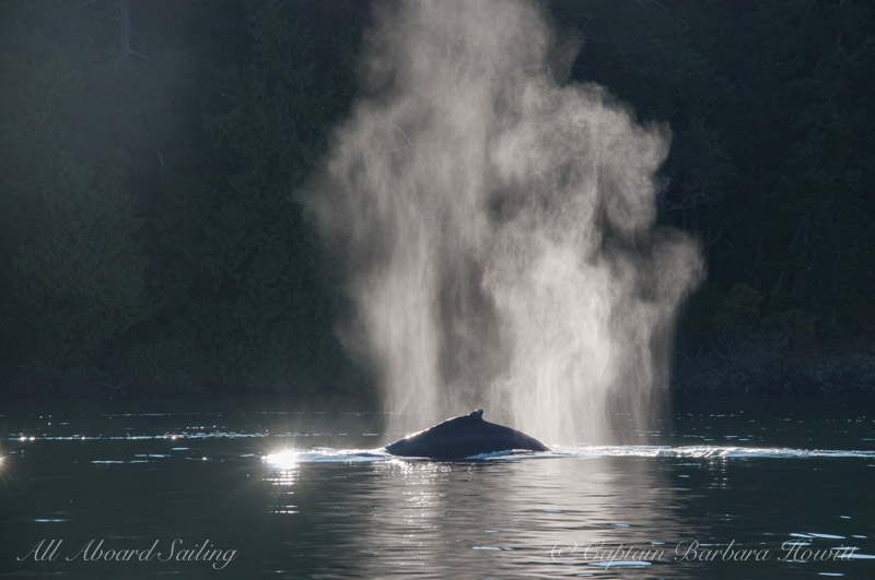 Backlit blows of Humpback Whales