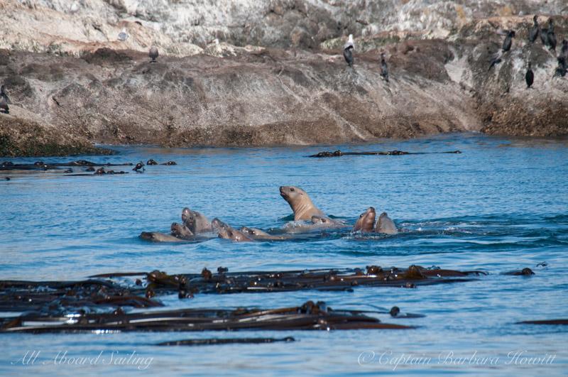 Raft of Steller sea lions