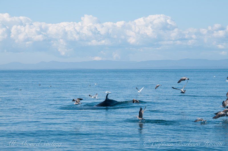 Minke whale surfacing near the diving birds