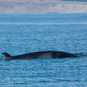 Multiple Minke Whales