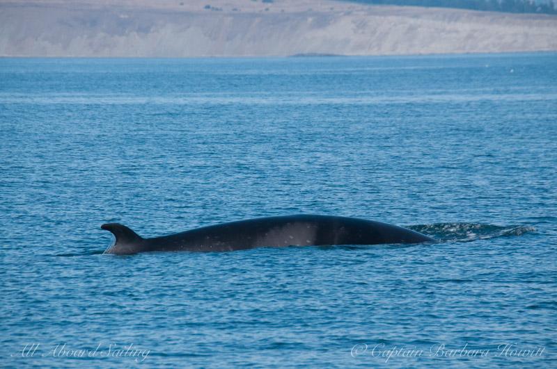 Minke whale