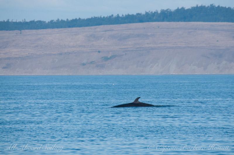Minke whale on Salmon Bank