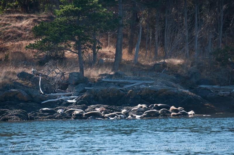 Group of harbor seals enjoying the sunshine