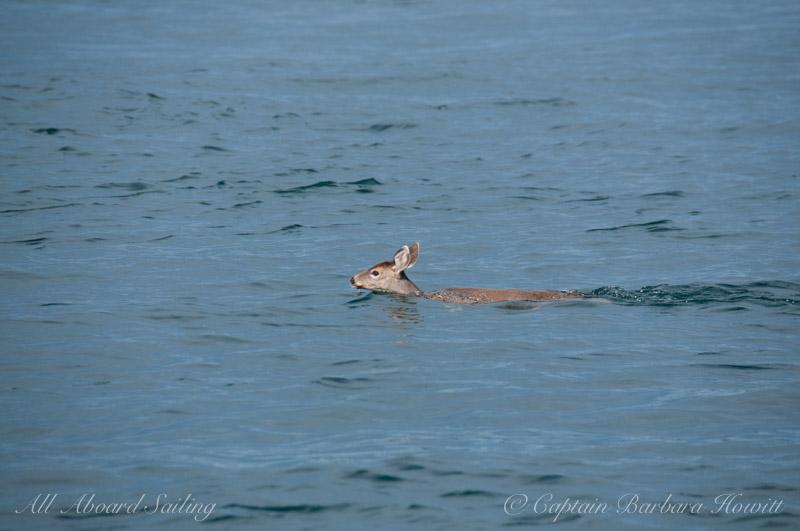 Deer swimming from Turn Island to San Juan Island