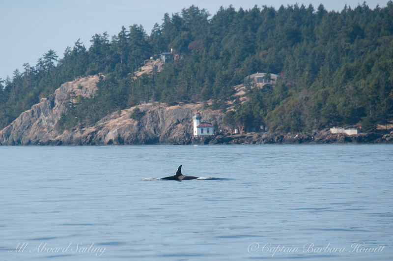 Orcas foraging off Lime Kiln Pt State Park