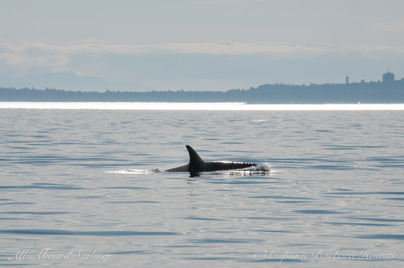Southern Resident Orca heading up Haro Strait