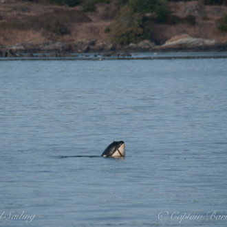 A special day with Southern Resident Orcas from J & L Pods