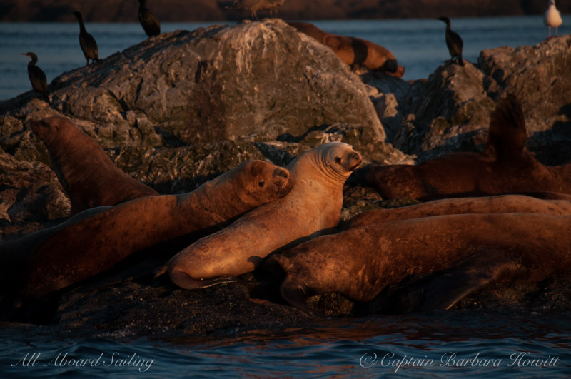 Steller sea lions resting at sunset