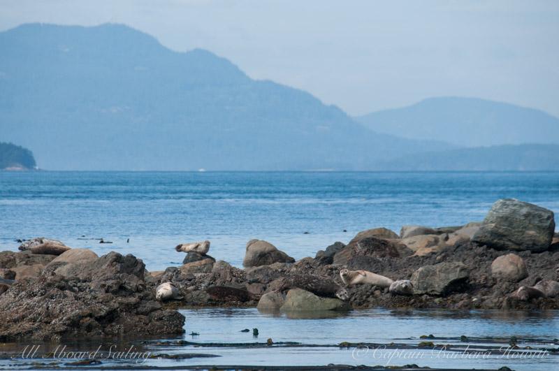 Harbor seals balancing on rocks