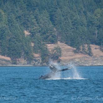 A sail with a pair of humpbacks
