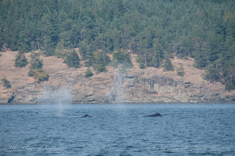 Pair of humpback whales, BCY0160 and BCX0158