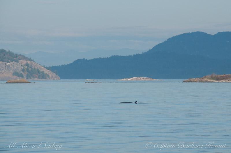 Minke whale, New Channel