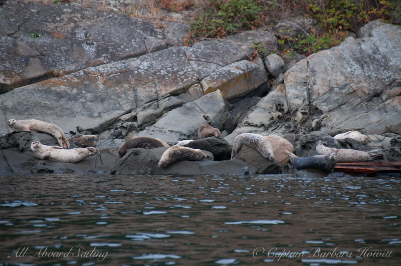 Harbor seals on Flattop Island